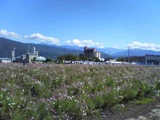 飯島町のコスモス祭り